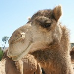 Management Tactic #31: The Camel Rule