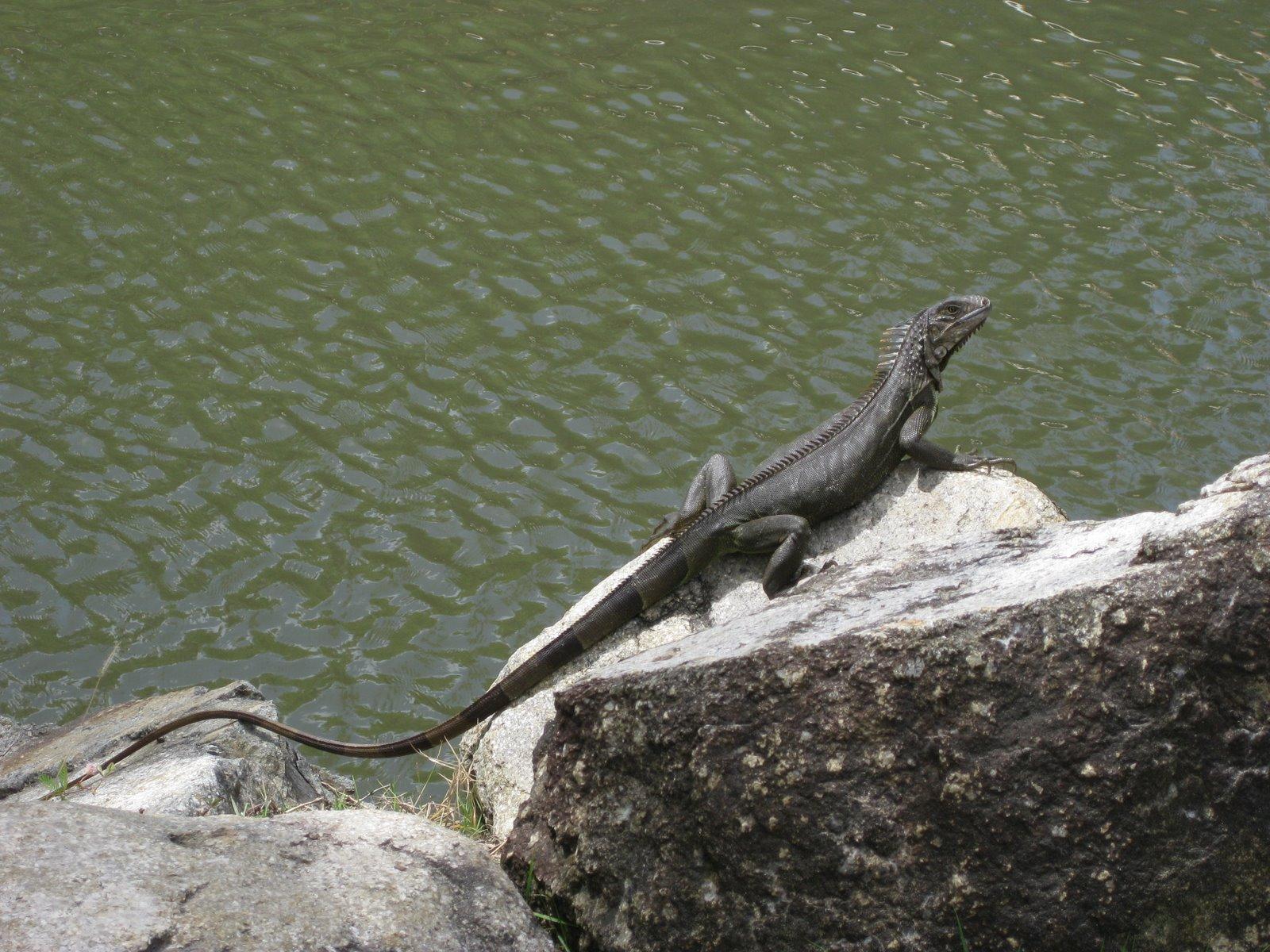 The Infamous Iguana