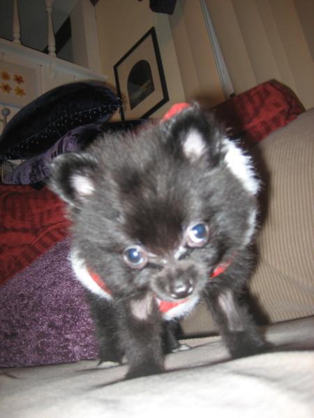 Jasper Xmas Puppy