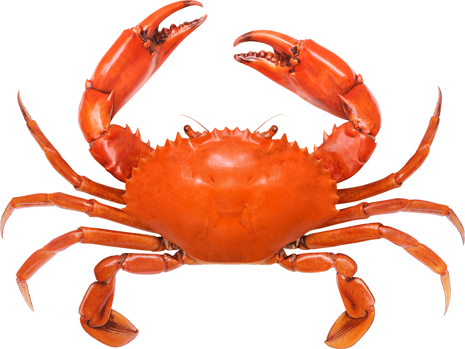 Is Sebastian From Disney S The Little Mermaid A Lobster Or A Crab Jameystegmaier Com